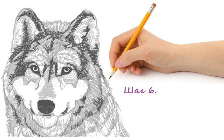 Как нарисовать волка поэтапно?